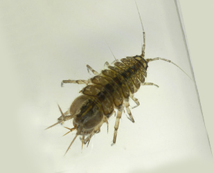 Water louse